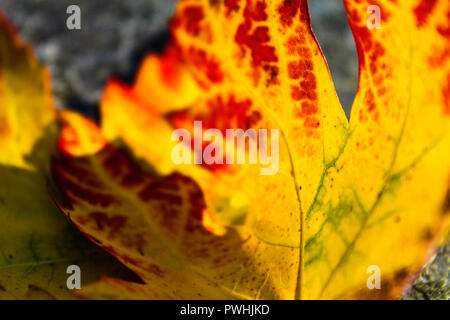Detailed close-up of a leaf changing colours in Autumn - Stock Photo