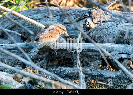 Wryneck or Junx Torquilla on dry tree branch - Stock Photo