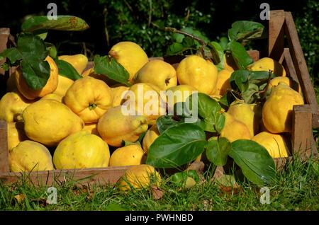 Quinces harvest Cydonia oblonga