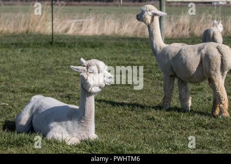 A pair of sheered, white alpacas bask in the sun on a late-Autumn afternoon. - Stock Photo
