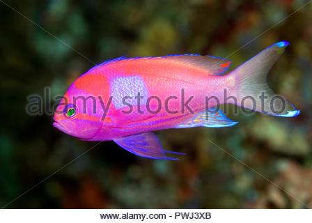 Neon-Fahnenbarsch (Pseudanthias pleurotaenia), Salomonen | Square-spot fairy basslet (Pseudanthias pleurotaenia), male coloration, Solomon Islands - Stock Photo