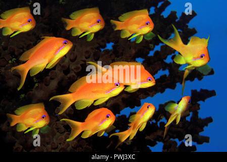 Juwelen-Fahnenbarsche (Pseudanthias squamipinnis), Malediven | Jewel fairy basslet, lyretail anthias (Pseudanthias squamipinnis), Maldive islands - Stock Photo
