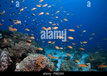 Jewel fairy basslet, lyretail anthias (Pseudanthias squamipinnis), Panglao, Bohol island, Philippines - Stock Photo