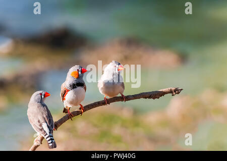Contemplating a drink a male and two female Zebra Finches perch warily over a waterhole. - Stock Photo