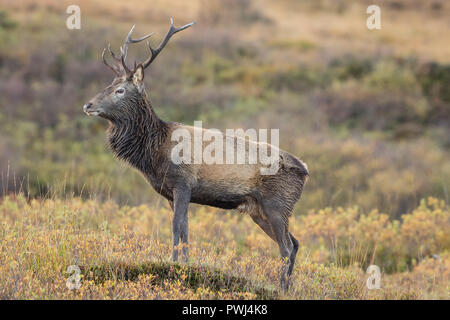 Red deer stag (Cervus elaphus scoticus) standing majestically in   Ardnamurchan in the Highlands of Scotland. Facing left.  Horizontal - Stock Photo