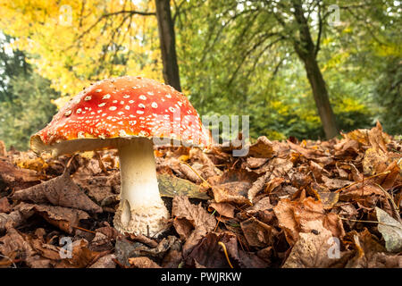 A large mushroom (Amanita muscaria or Agaric fly) in a park in The Netherlands. Photograph was taken on a sunny autumn day. - Stock Photo