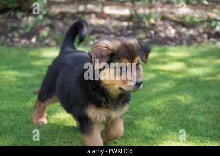 Cuddly puppy playing in a garden.German shepherd rottweiler cross bread - Stock Photo