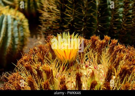Glaucous barrel cactus Latin name ferocactus glaucescens flower - Stock Photo