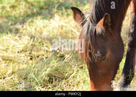 Assateague Wild Horses temperately corralled - Stock Photo