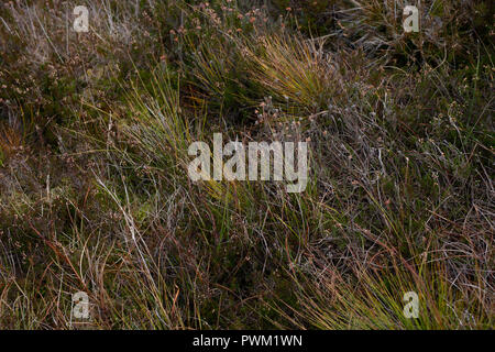 Colourful flora seen at Sally Gap, County Wicklow, Ireland. Stock Photo