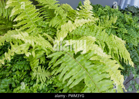 Boston fern, aka sword fern, Boston swordfern, wild Boston fern, tuber ladder fern, fishbone fern (Nephrolepis exaltata) - USA - Stock Photo