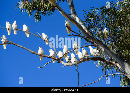 Flock of white birds, corellas, in gum tree with blue sky background, South Australia, Australia - Stock Photo