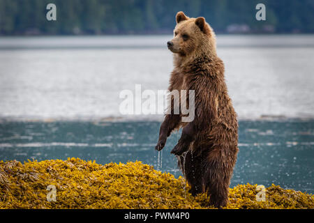 Cute grizzly bear cub standing up in seaweed looking for mom along the shoreline in Knight Inlet at low tide, First Nations Territory, British Columb - Stock Photo