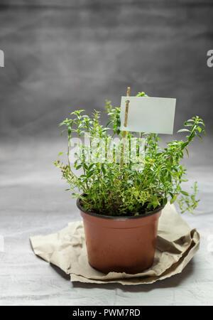 Fresh winter savory in a flowerpot - Stock Photo