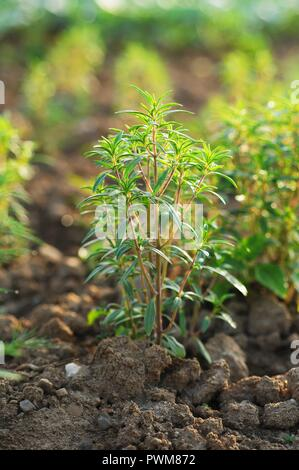 Savory growing in the field - Stock Photo