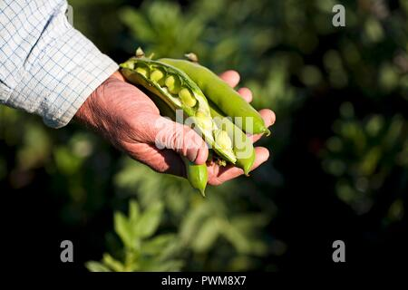 A farmer holding freshly harvested broad beans - Stock Photo