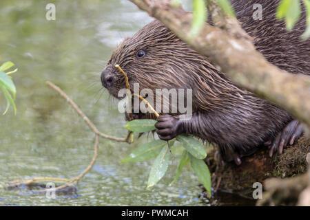 Euroasian Beaver (Castor fiber) eating willow on the river Ericht, near Blairgowrie, Scotland, UK. - Stock Photo
