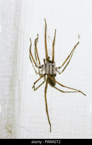 Large hairy house spider (Tegenaria domesticus) on white ...