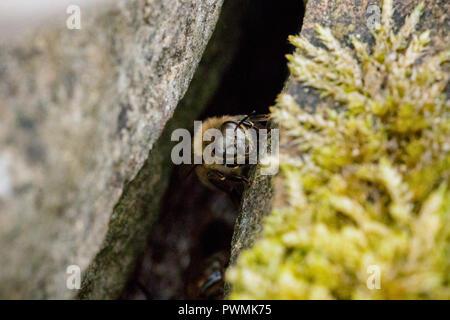 Western Honey Bee resting between rocks in a garden - Stock Photo