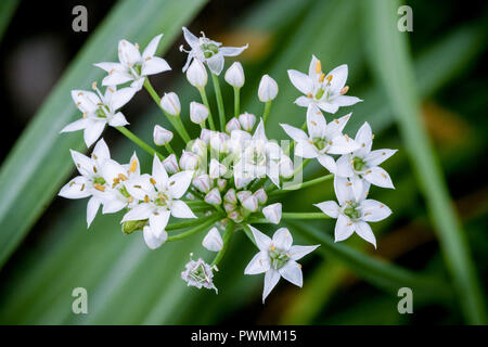 Close up of white Chinese Chives with a blurred grass background in the garden. Also known as Allium Tuberosum. - Stock Photo