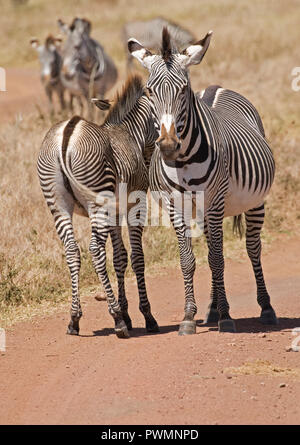 Grevy's zebra Equus grevyi mare and foal now on IUCN Endangered List Lewa Wildlife Conservancy Kenya - Stock Photo