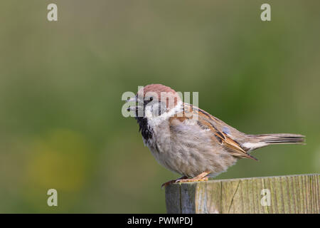 Detailed, close-up side view of a wild, UK tree sparrow (Passer montanus) isolated outdoors, perched on wooden post in summer sunshine, beak open. - Stock Photo