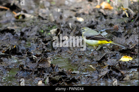 Grey Wagtail (Motacilla cinerea) in mud - Stock Photo