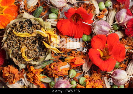 Saving flower seeds for future planting: Sunflower (Helianthus anuus) Love in a mist (Nigella damascena), nasturtium (Tropaeolum), marigold (Tagetes). - Stock Photo