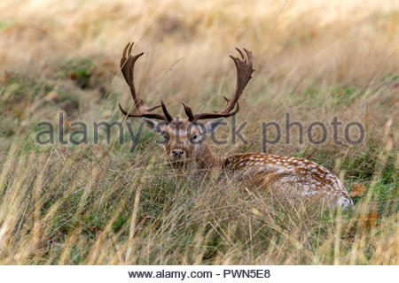 A fallow deer buck lying in long grass in the autumn sun. - Stock Photo