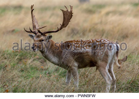 A fallow deer buck with fine palmate antlers with a stick caught in the hair under its jaw. - Stock Photo