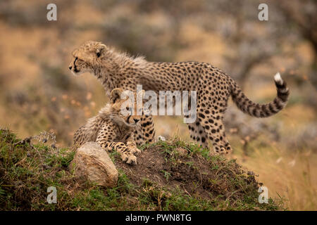 Cheetah cubs lying and standing on mound - Stock Photo