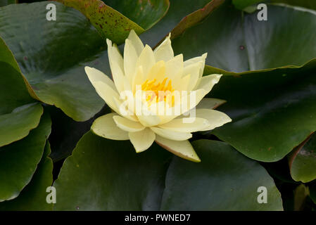 Yellow water lily, Nymphaea sp., flowering among profuse leaves on a garden pond in summer, Berkshire, August - Stock Photo