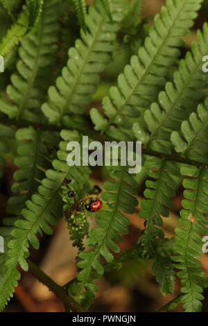 Autumnal Scene's -  Several insects of ladybird species including an invasive Harlequin ladybird exploring woodland ferns. - Stock Photo
