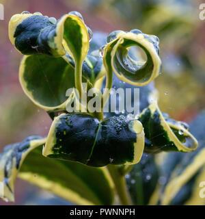 Curled leaves of a Variegated Holly Bush Ilex aquifolium Argentea Marginata (Silver Variegated Holly) - Stock Photo