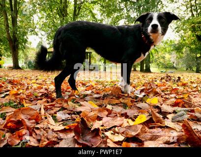 Ashbourne Park, Derbyshire, UK. 17th Oct, 2018. UK Weather: Autumn leaves fall in Ashbourne Park, Derbyshire the gateway to the Peak District National park Credit: Doug Blane/Alamy Live News - Stock Photo