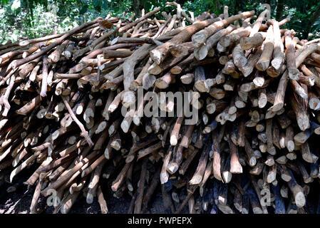 Sri Lanka. Mirissa, cinnamon plantation. Reserve of cinnamon wood. - Stock Photo