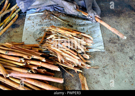 Sri Lanka. Mirissa, planting cinnamon. Cinnamon is the inner bark of the cinnamon tree. Artisanal preparation of cinnamon stick. - Stock Photo