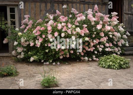 Hydrangea flowers close to a  half-timbered countryside house - Stock Photo
