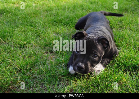 American staffordshire terrier. Cute pure bread puppy on the green ground. - Stock Photo