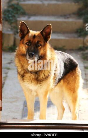 Adorable purebred german shepherd watching dog standing in the front door - Stock Photo