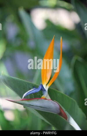 Perfect bird of paradise flower, Strelitzia, flowering plant at the Garfield Park Conservatory in Chicago, Illinois. - Stock Photo
