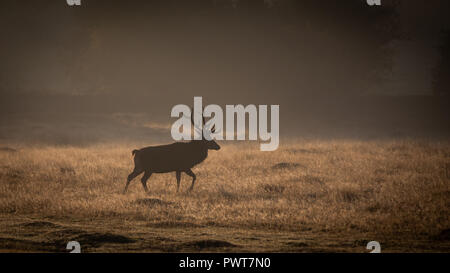Red Deer Photographed in rays of light on a misty sunrise in Forrest in the uk. Deer species is Red Deer and are located in Bradgate Park - Stock Photo