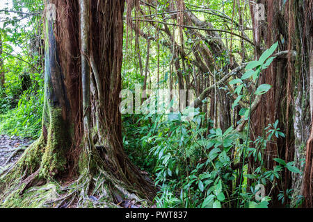 Tropical rainforest in Akaka falls state park, on Hawaii's Big Island. Banyan trees, vines and other foliage with rocks and boulders.