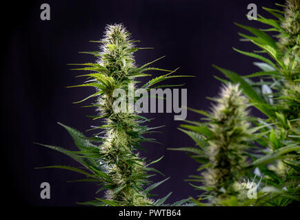 Detail of blooming cannabis flowers isolated over black background, medical marijuana concept - Stock Photo