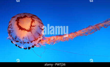 Jellyfish swimming against a blue background - Stock Photo