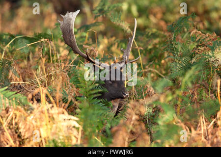 Fallow Deer Buck (Dama Dama) in Autumn, UK. - Stock Photo