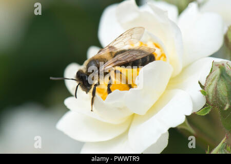 A female orange-tailed mining bee, Andrena haemorrhoa, landing on the white flower of a rose 'Rambling Rector', a summer pollinator, June - Stock Photo