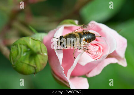 A drone fly, Eristalis tenax, hoverfly landing on the unopened flower bud of a pink rose, a summer pollinator, June - Stock Photo