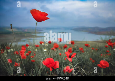 Red Poppies growing in the wild near the Al Wahda Dam in the Taounate Province, Morocco - Stock Photo