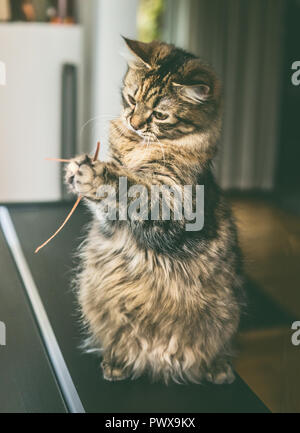 Funny fluffy cat sits on its hind legs and holds dried  grass in its front paws, indoor. Cat  plays - Stock Photo